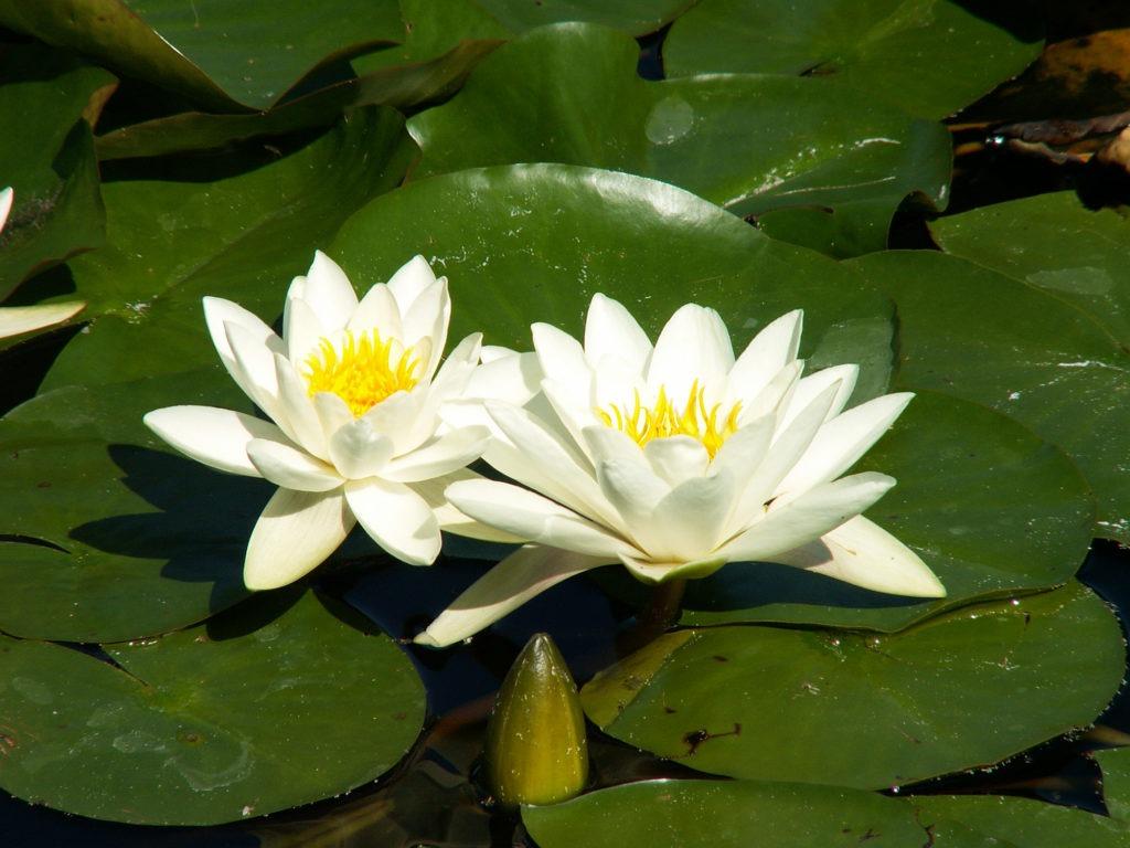 Красивые водяные цветы