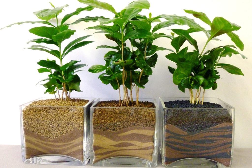 Кофейные деревья в стеклянных горшках