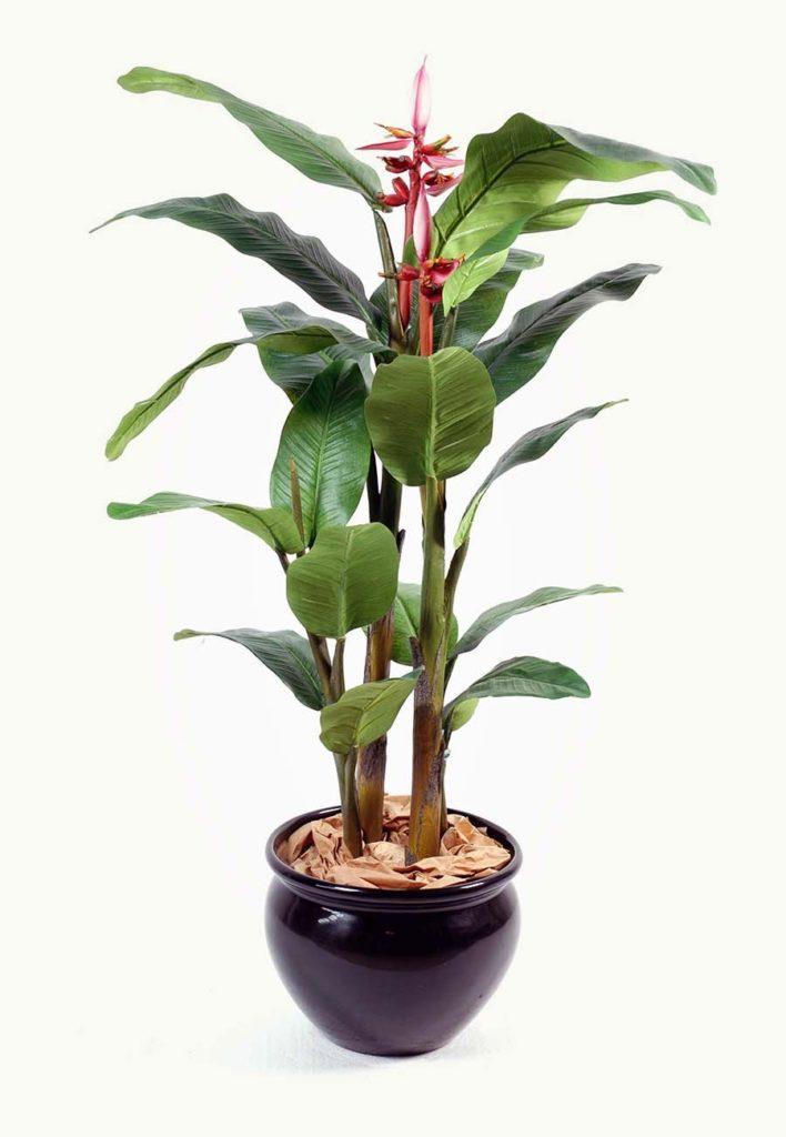 Высокое комнатное банановое дерево