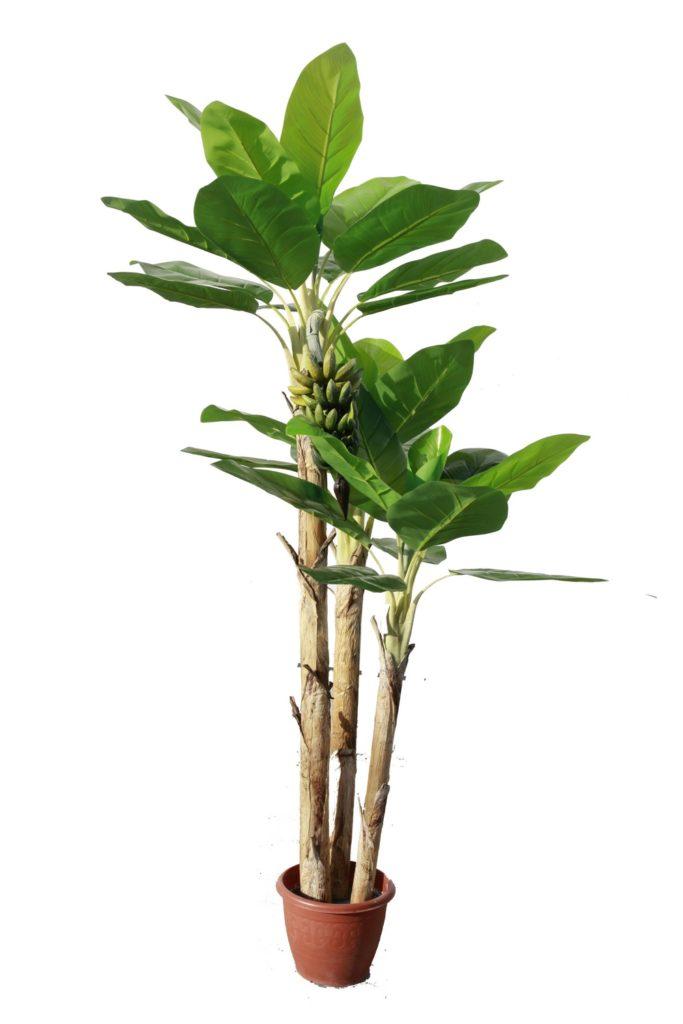 Банановое дерево в горшке
