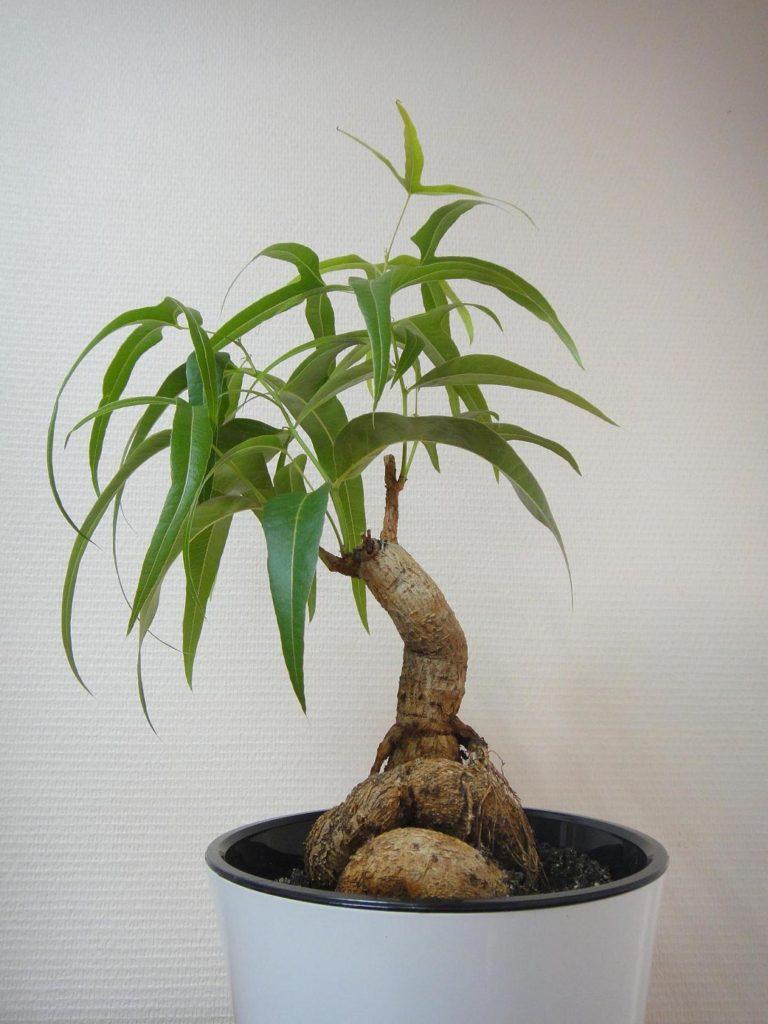 Бутылочное комнатное дерево в горшке