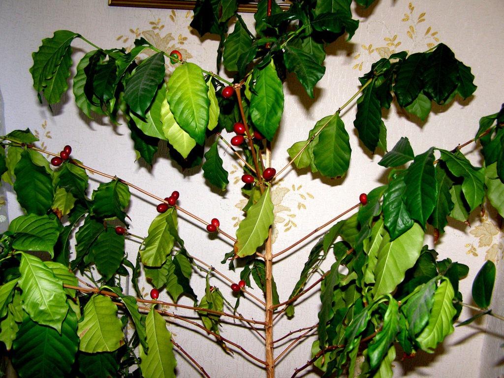 Большое кофейное дерево с плодами
