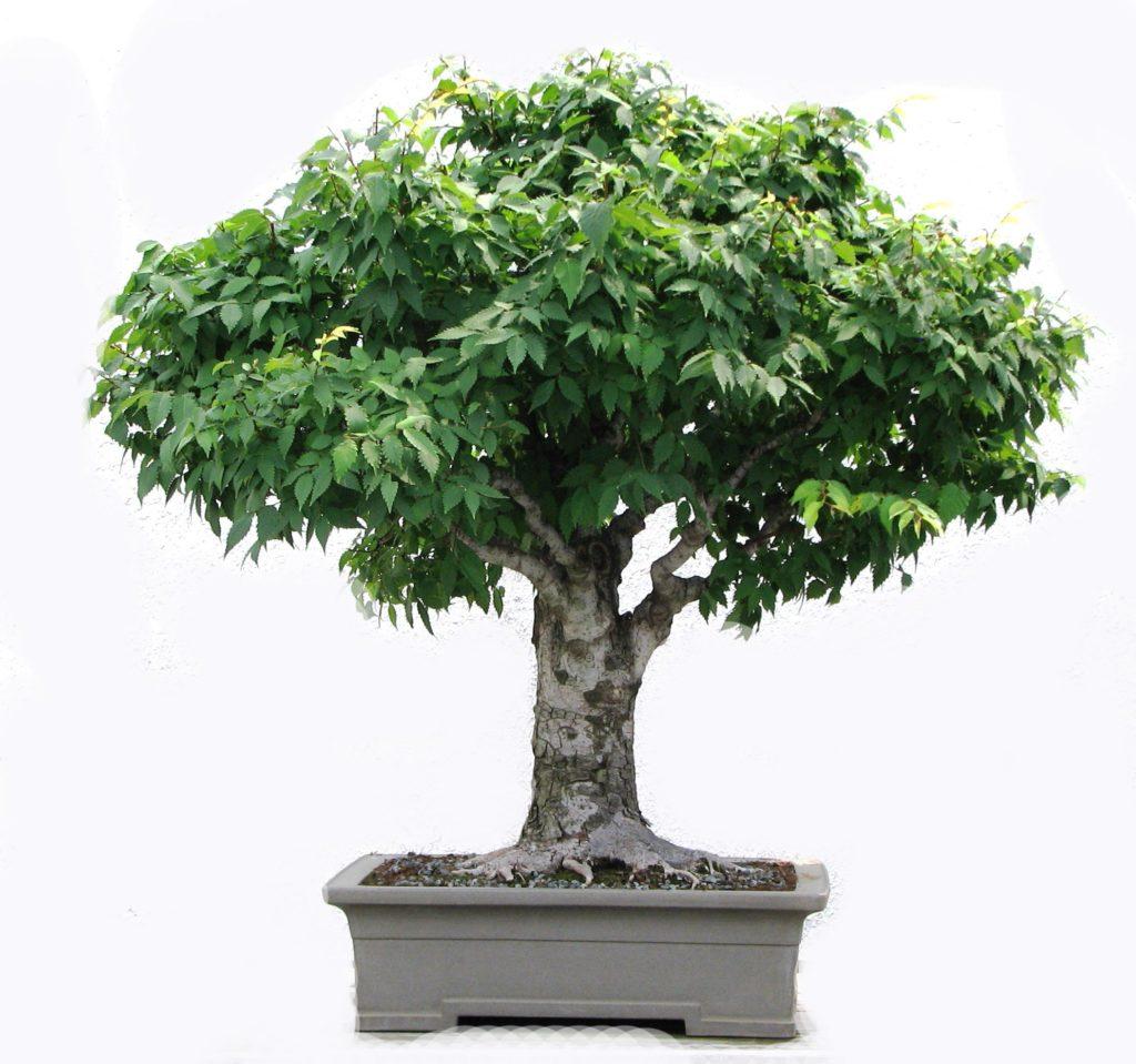 Симметричный лиственный бонсай