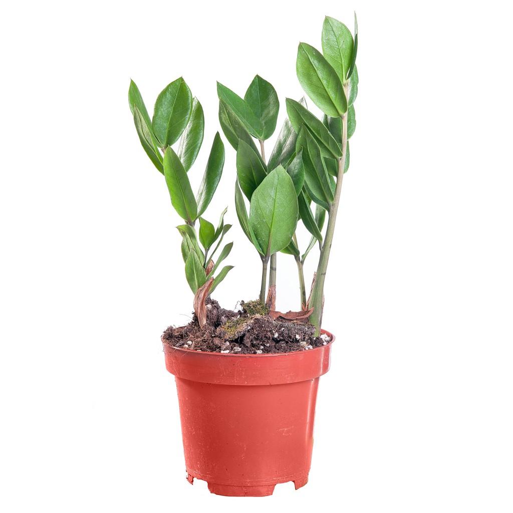 Небольшое долларовое дерево