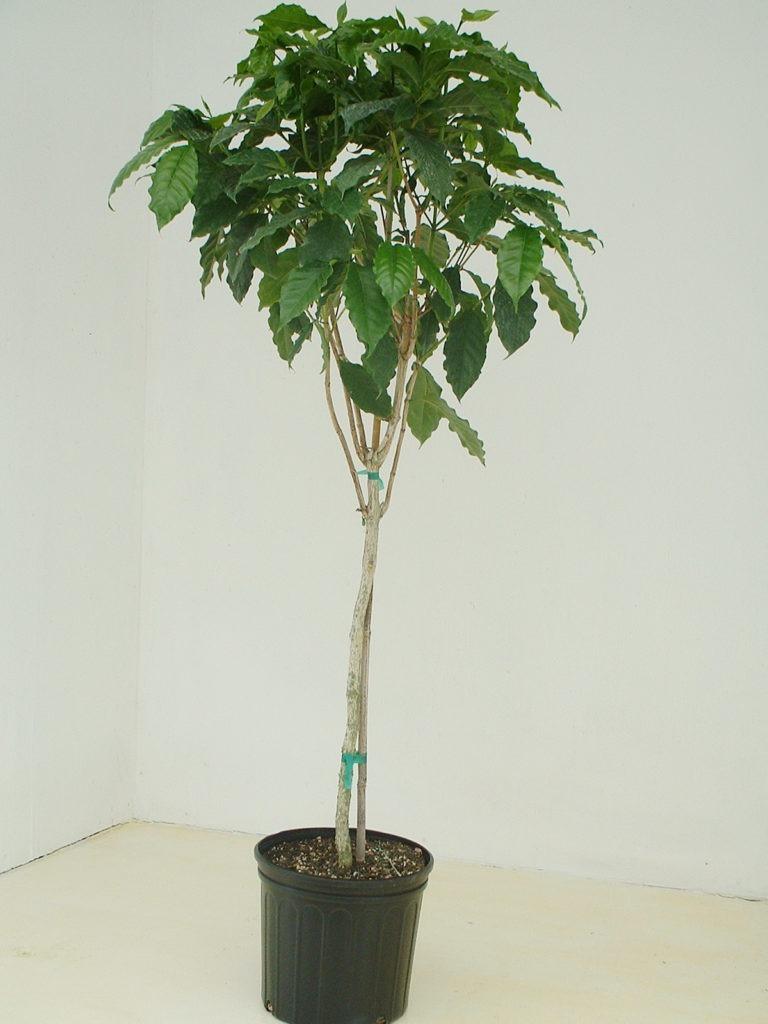 Высокое кофейное дерево