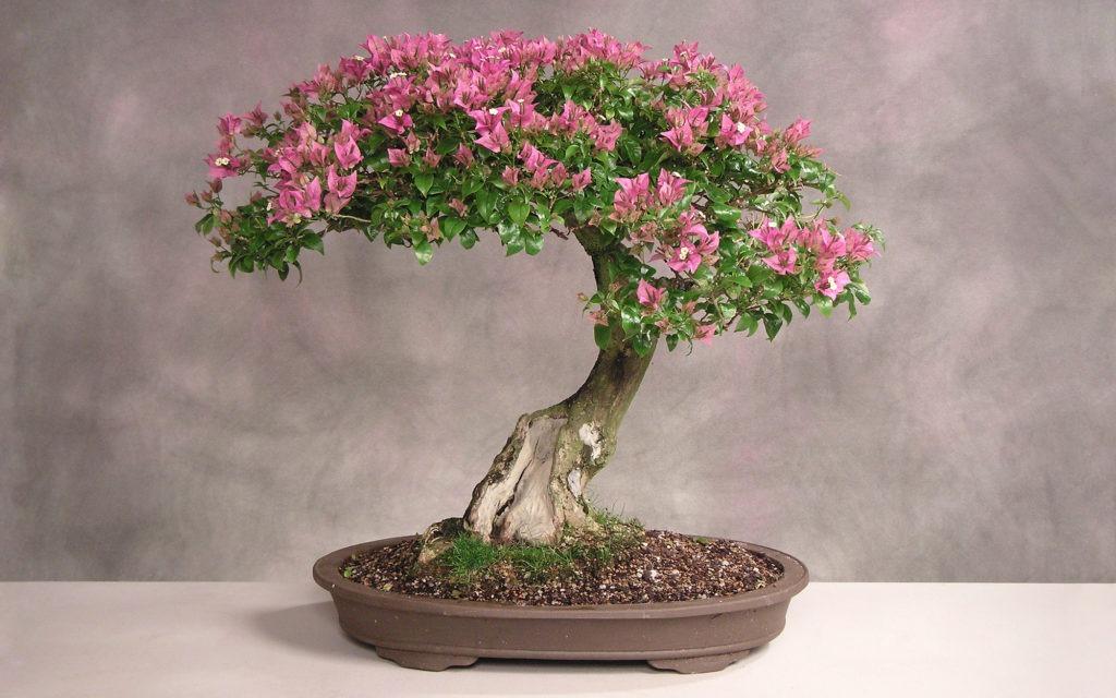 Цветущий бонсай