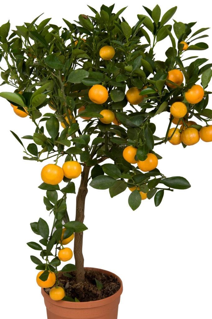 Плодоносящее мандариновое дерево