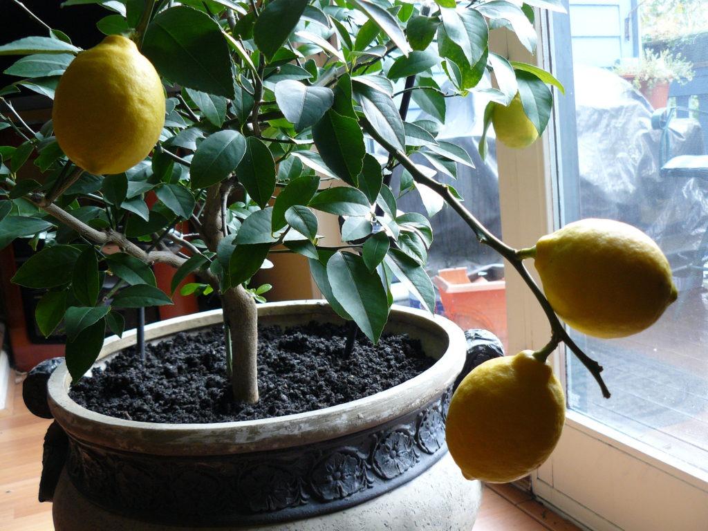 Плодоносящее лимонное дерево