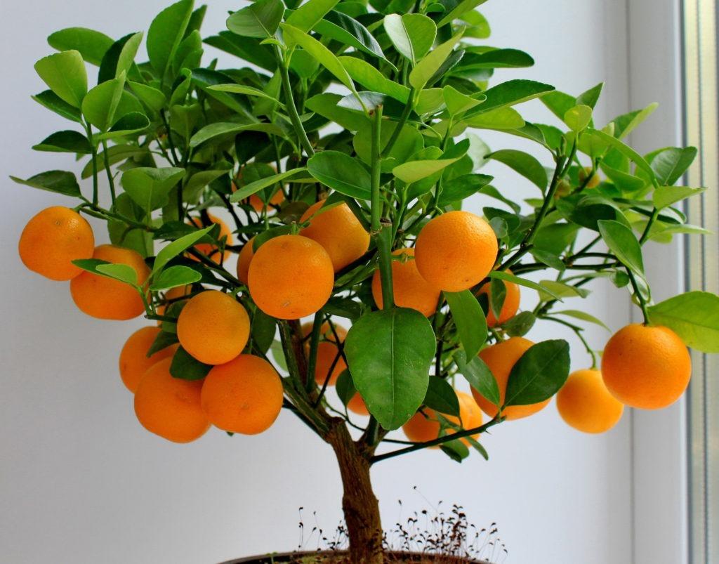 Небольшое мандариновое дерево на подоконнике