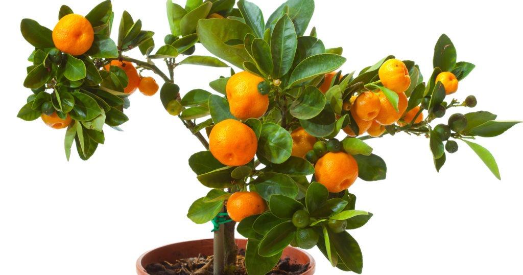 Маленькие мандариновые деревья в горшках
