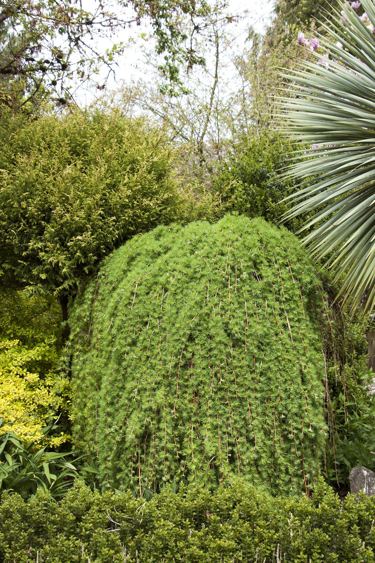 Лиственница - очень красивое растение для украшения участка
