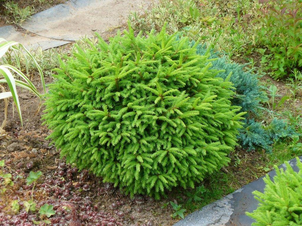 Небольшое хвойное растение