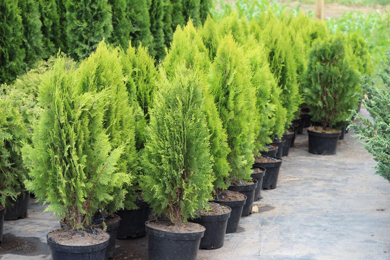 Красивые хвойные деревья для высадки на участок