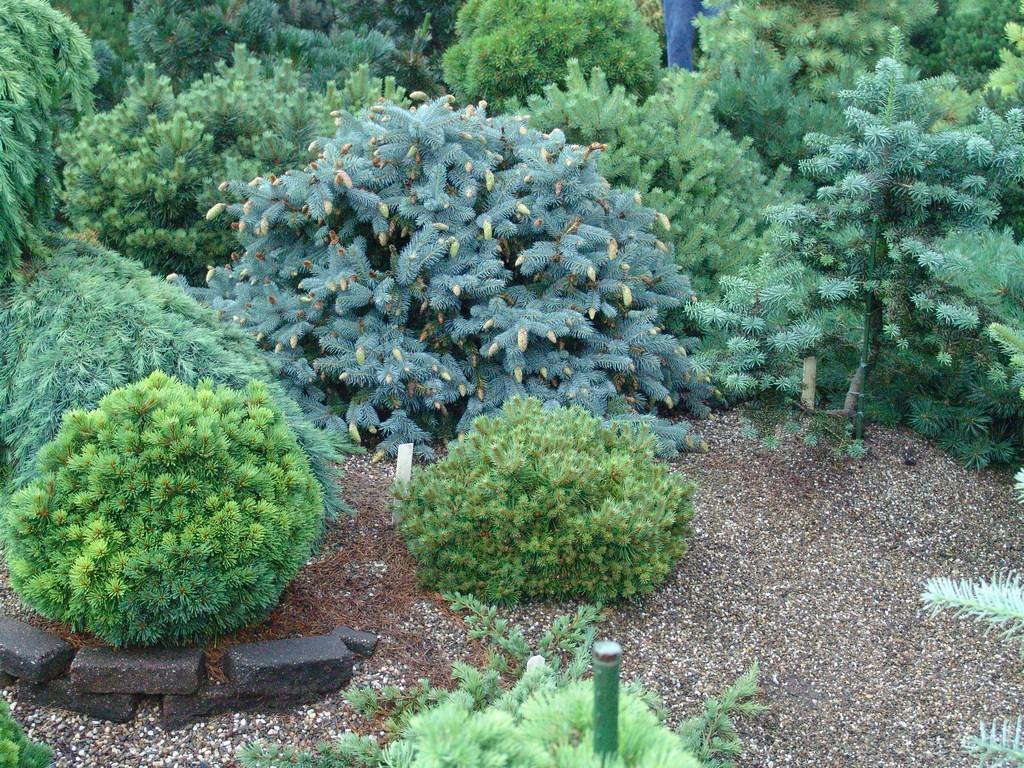 Красивое сочетание хвойных растений на участке
