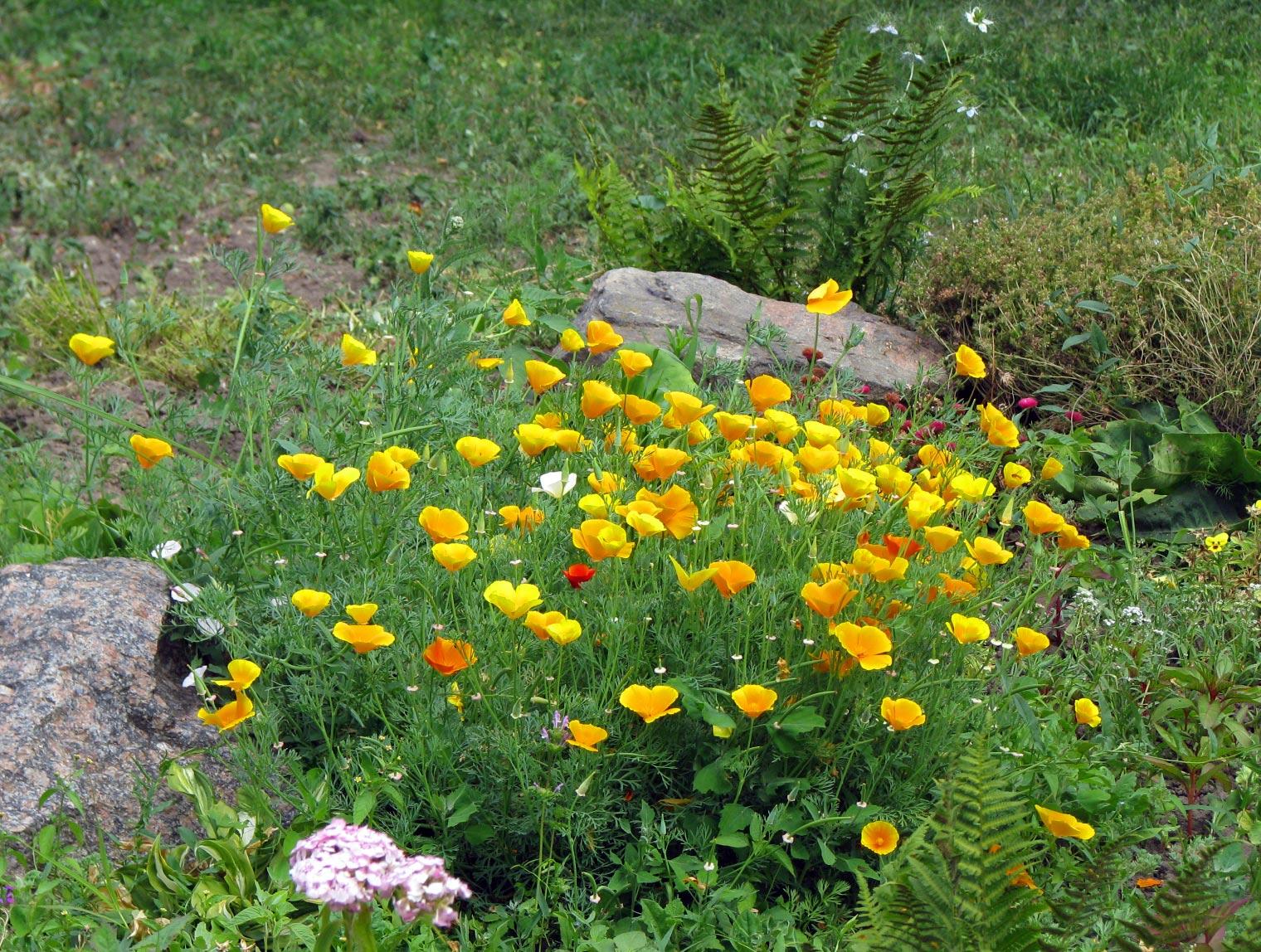 Красивые желтые цветы на альпийской горке