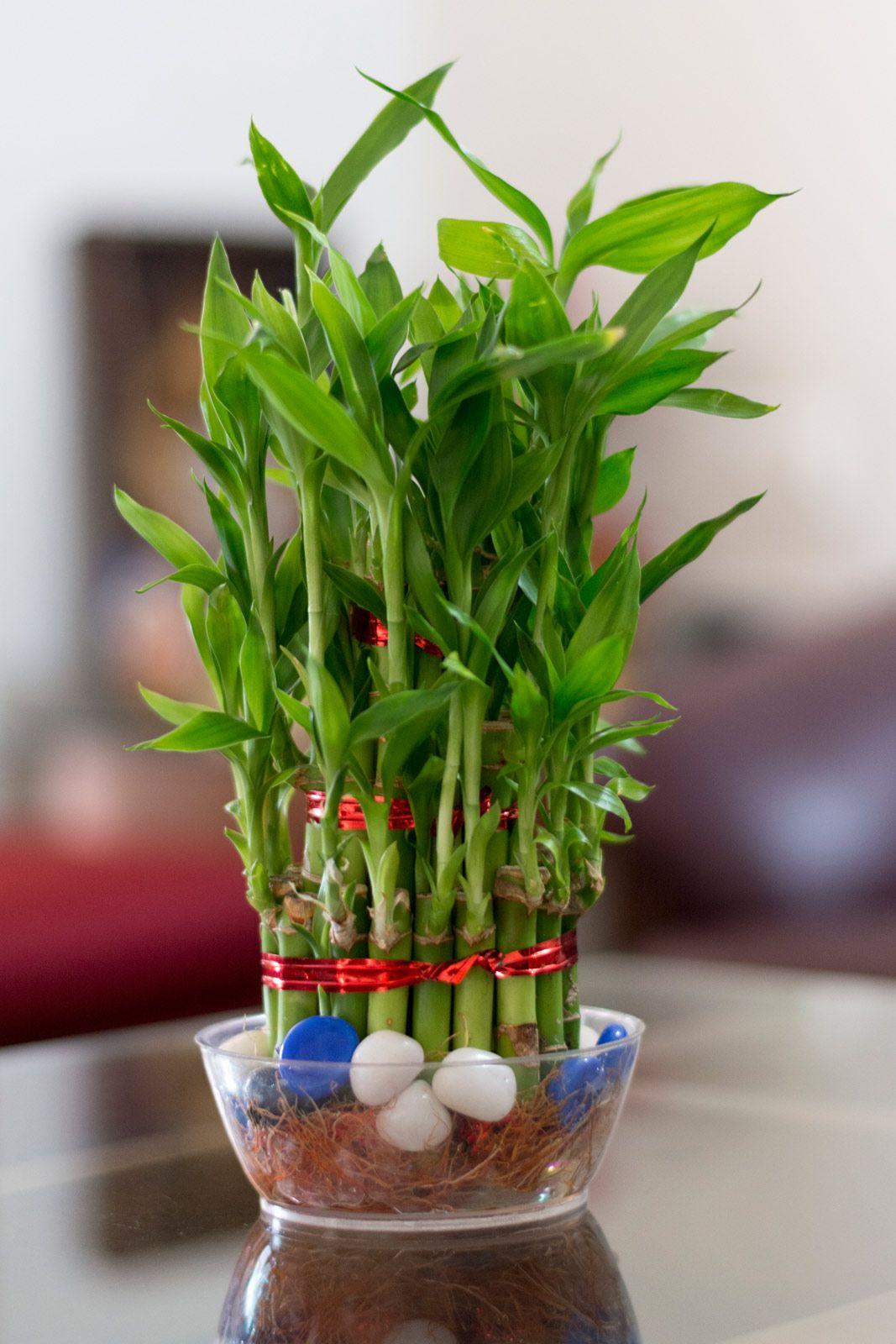 Маленький живой бамбук в интерьере