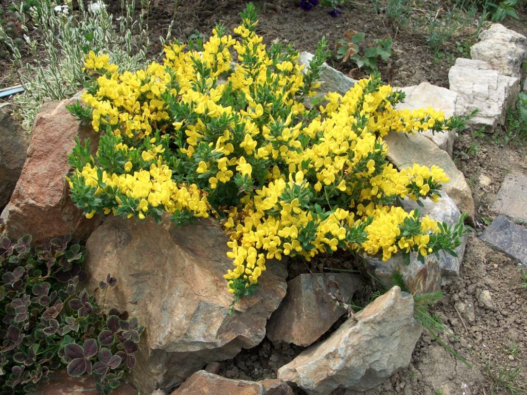 Кустарник с желтыми цветами, обрамленный камнями