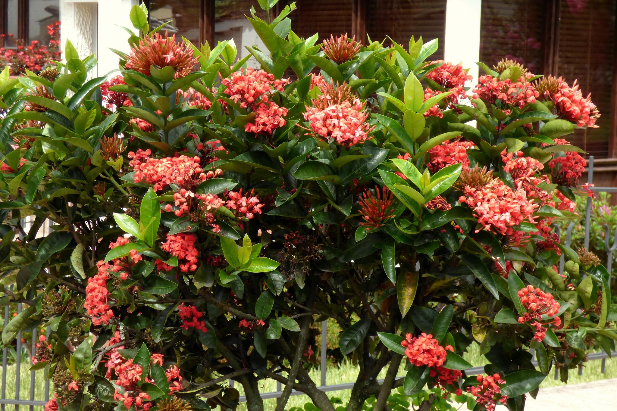 Декоративные кустарники с красными цветами