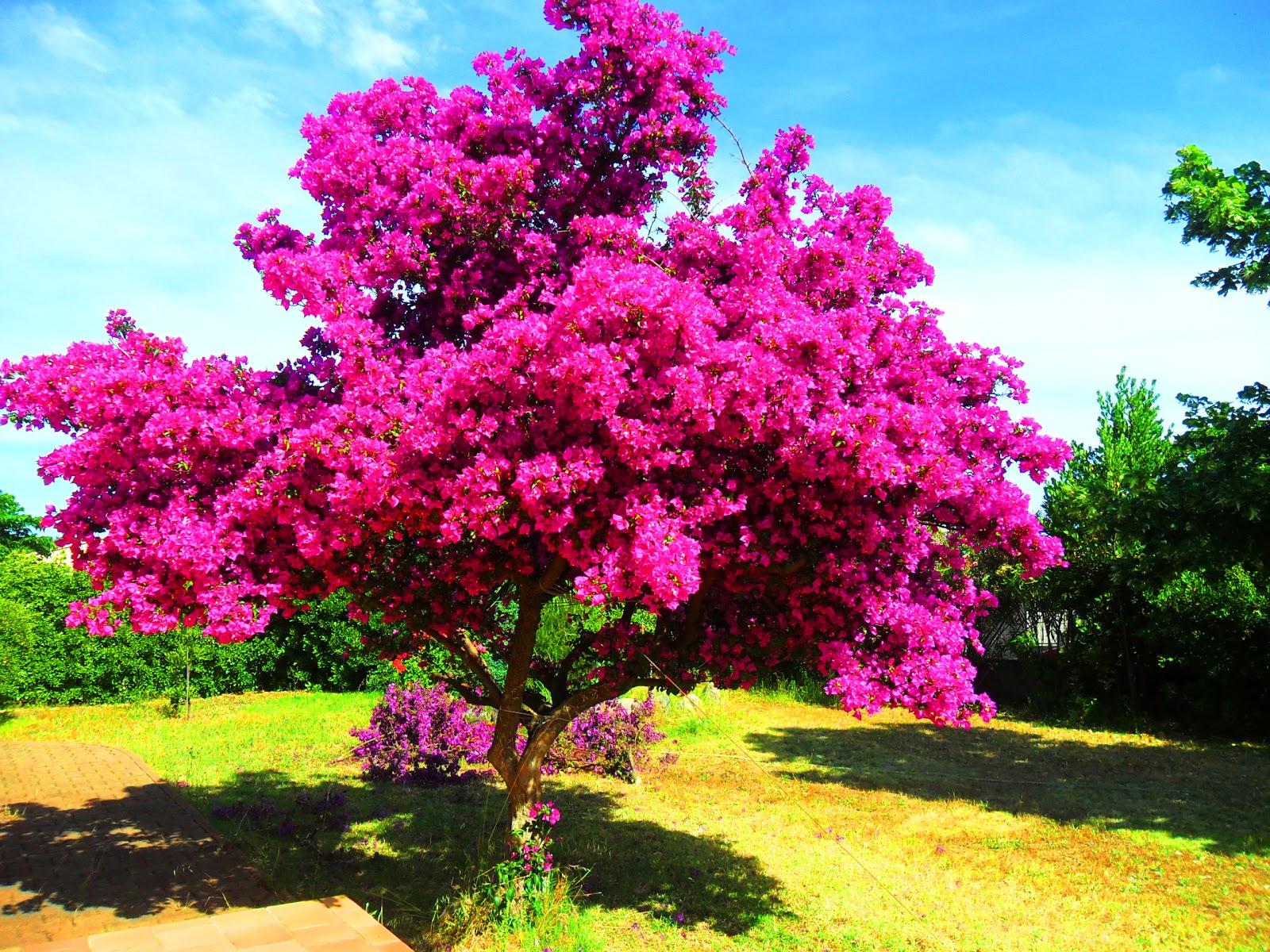 Декоративный кустарник с розовыми цветами