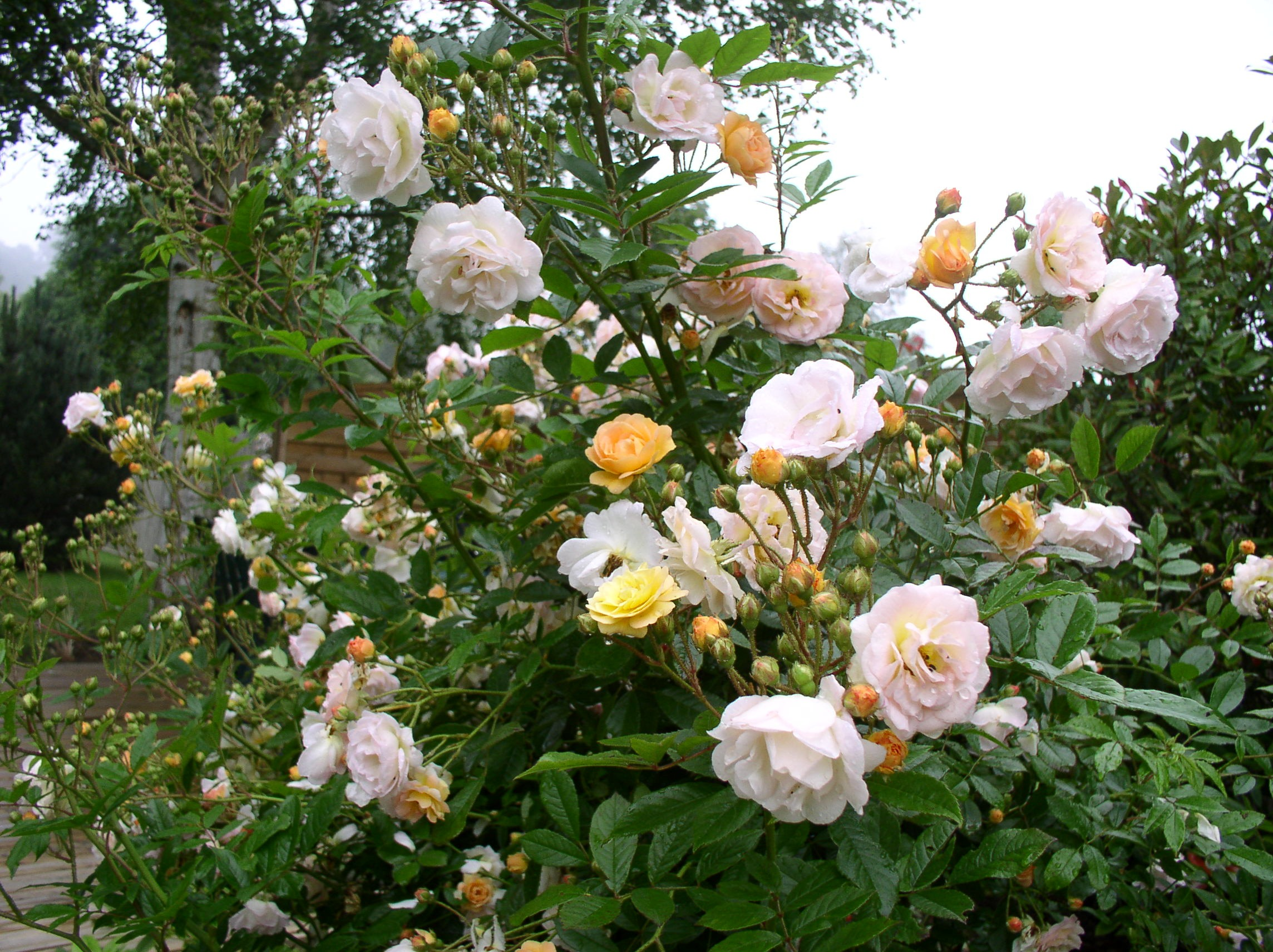 Декоративная кустовая роза