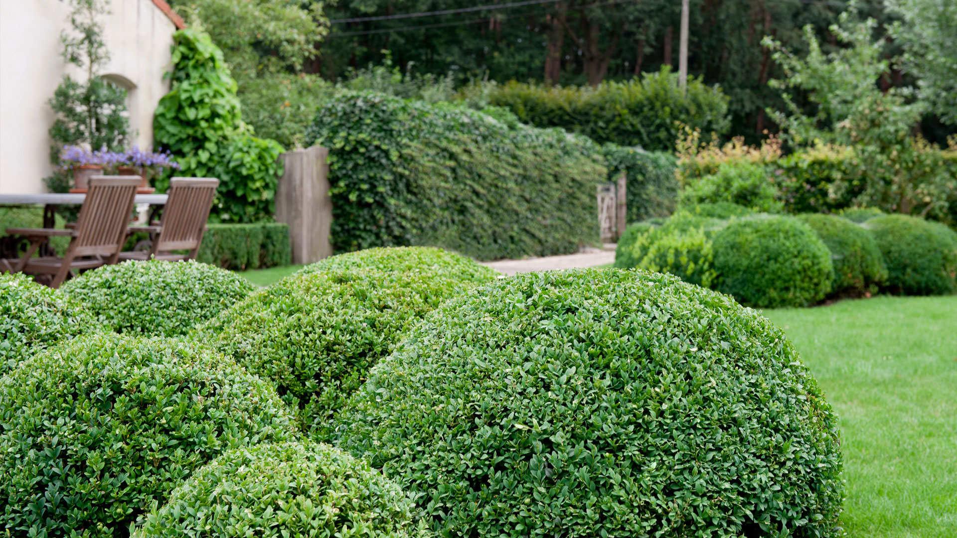 Декоративные кустарники в виде шара
