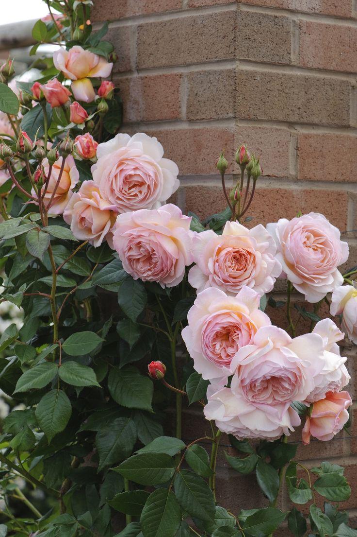 Чайные розы в ландшафтном дизайне