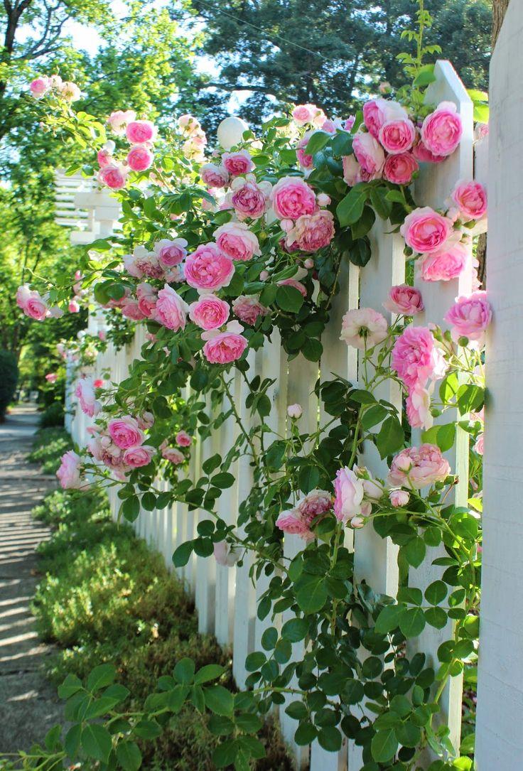 Розы в декоре изгороди