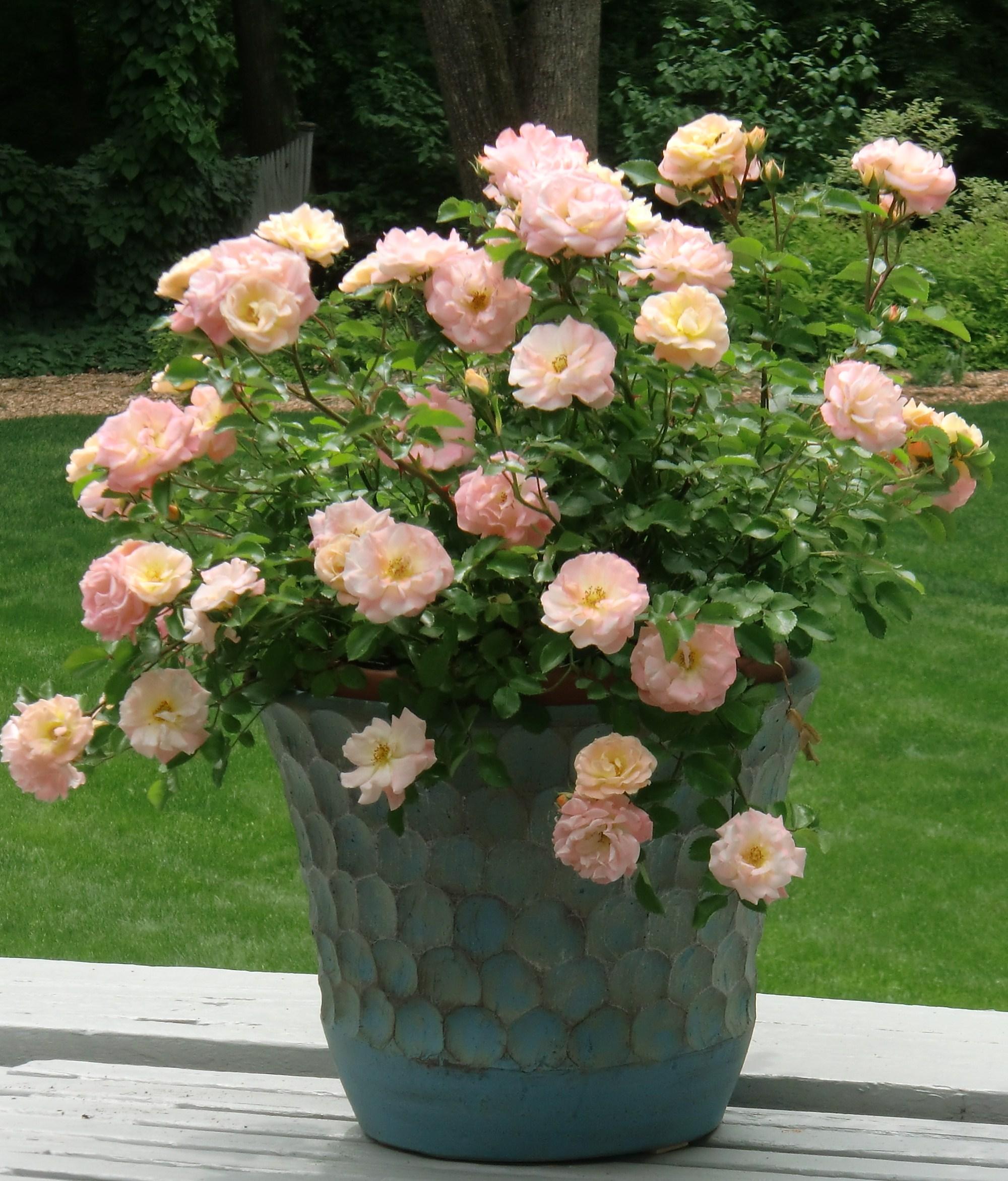 Розы в кашпо