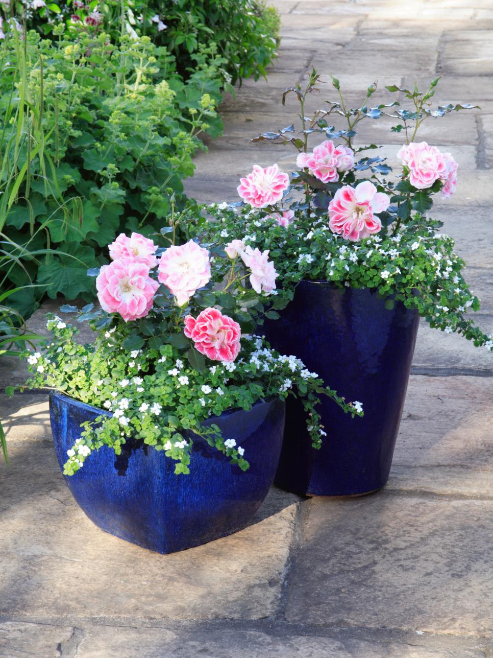 Махровая роза в саду