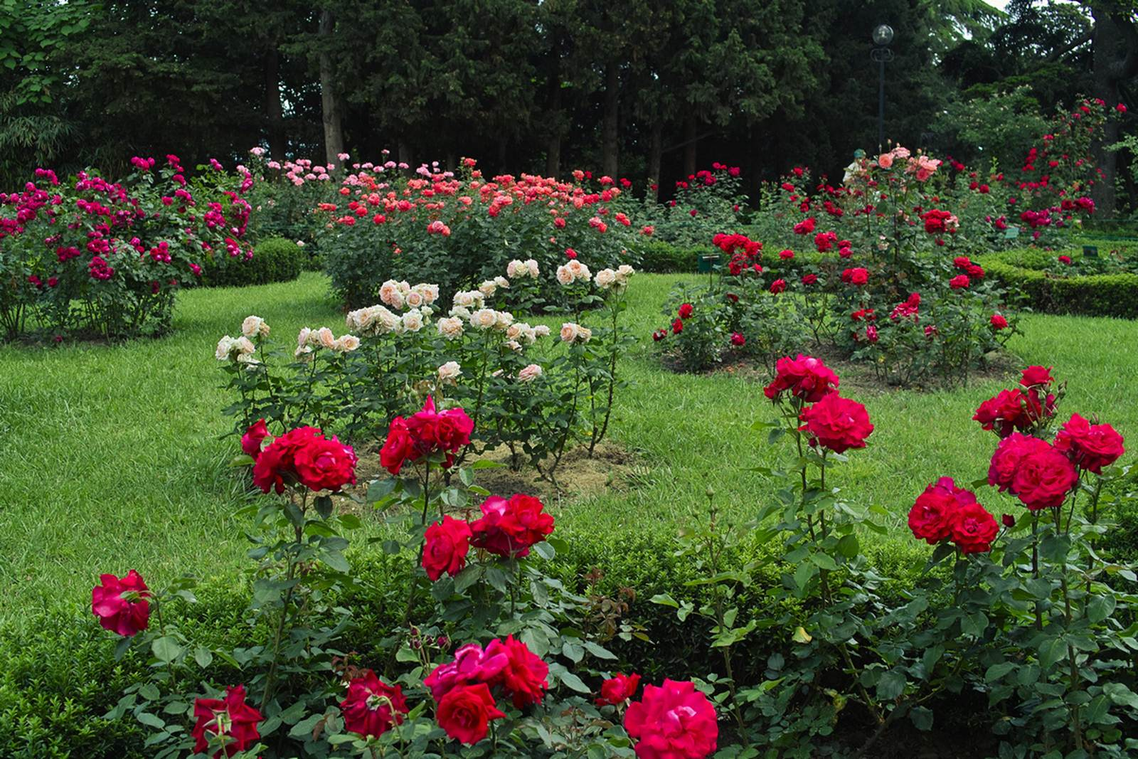Кусты роз в дизайне участка