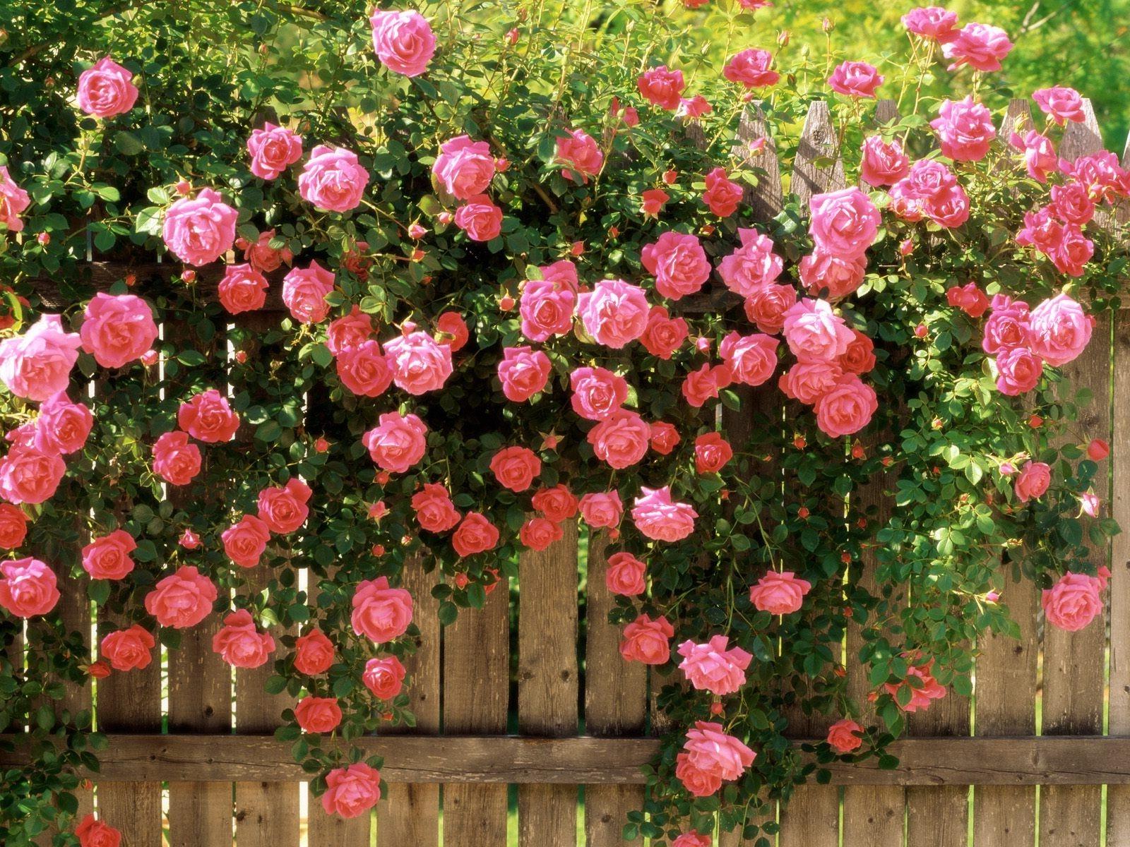Розы как украшение забора участка