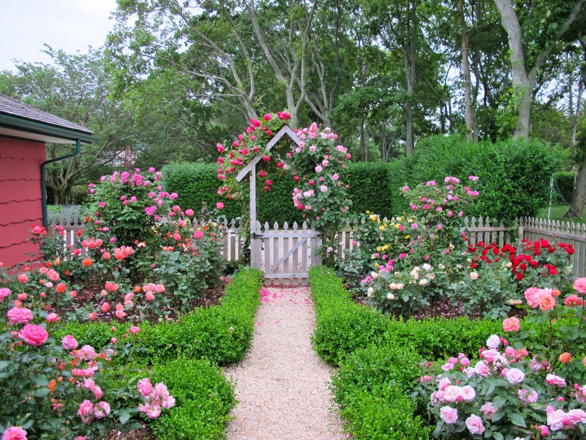 Розы для крашения участка и забора