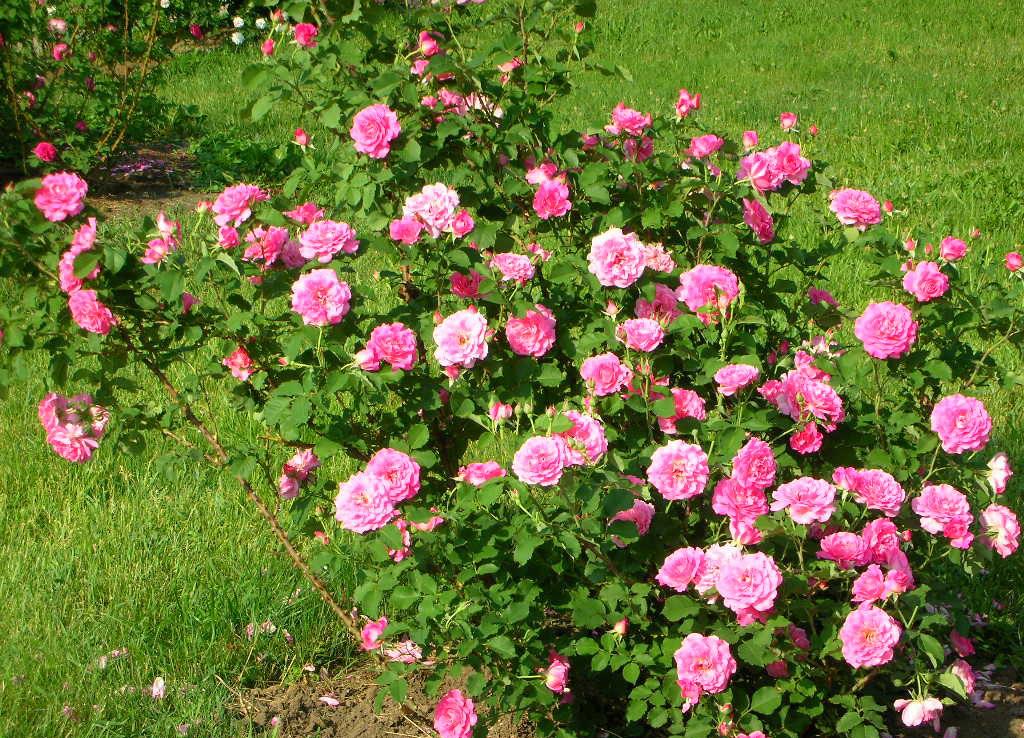 Кусты роз в дизайне ландшафта
