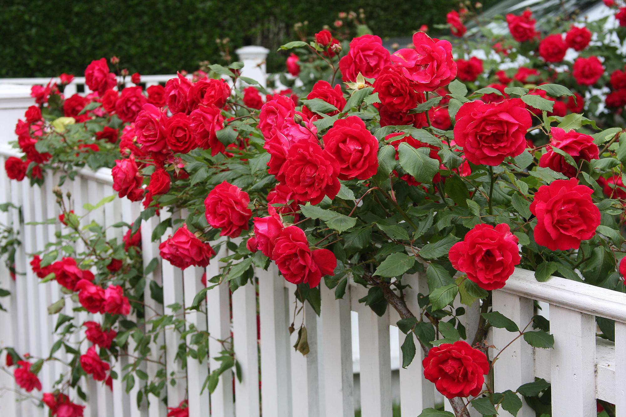 Красные розы для украшения забора