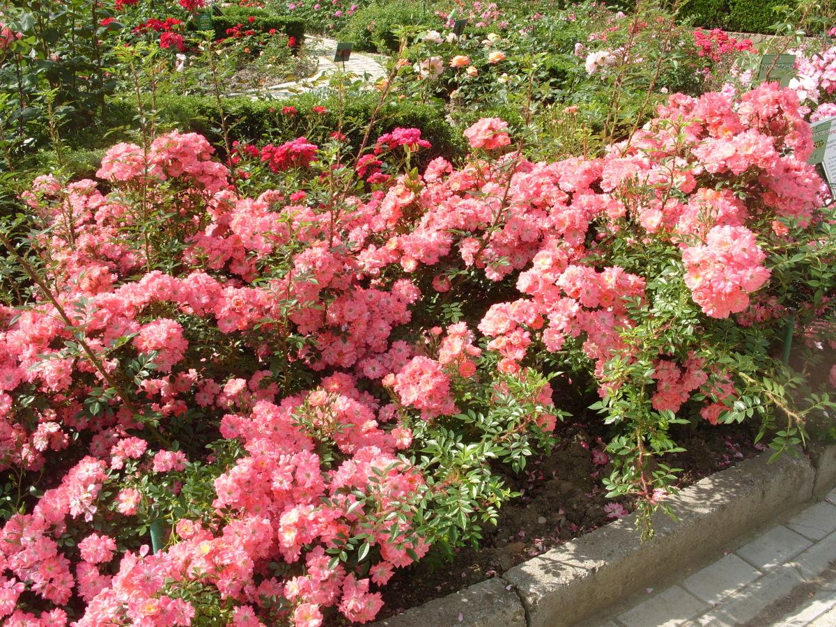 Клумбы роз на даче