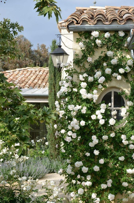 Розы в средеземноморском саду