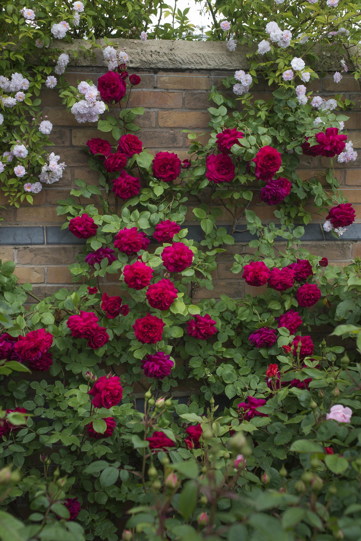 Темно-красная роза в ландшафтном дизайне