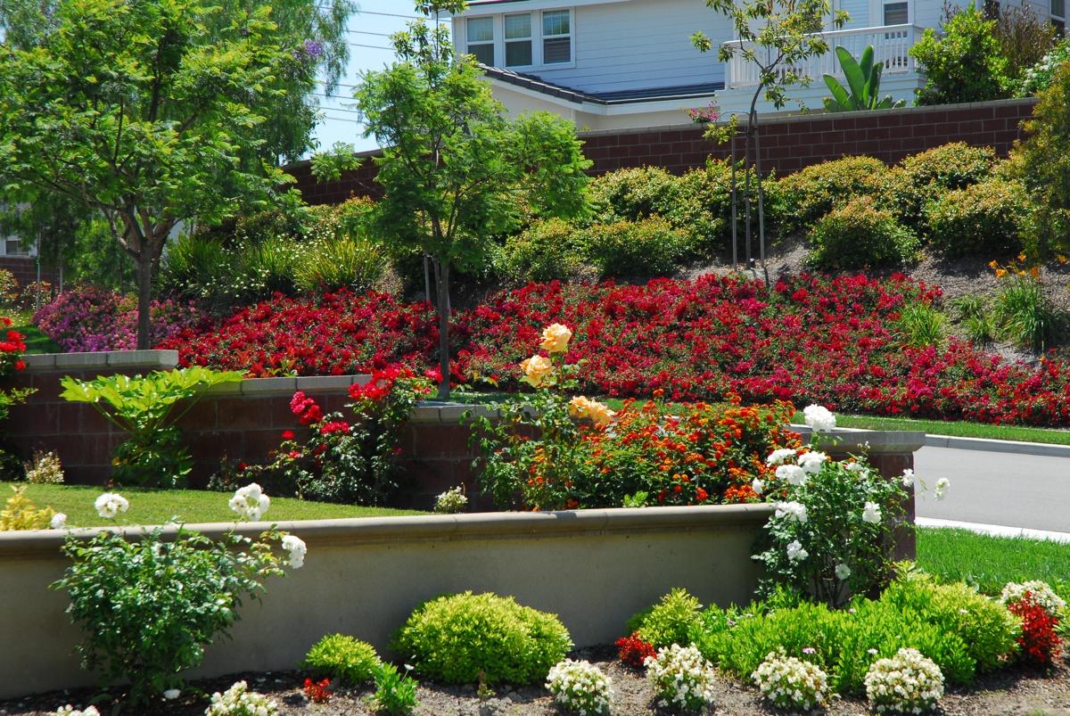 Роза на садовом участке
