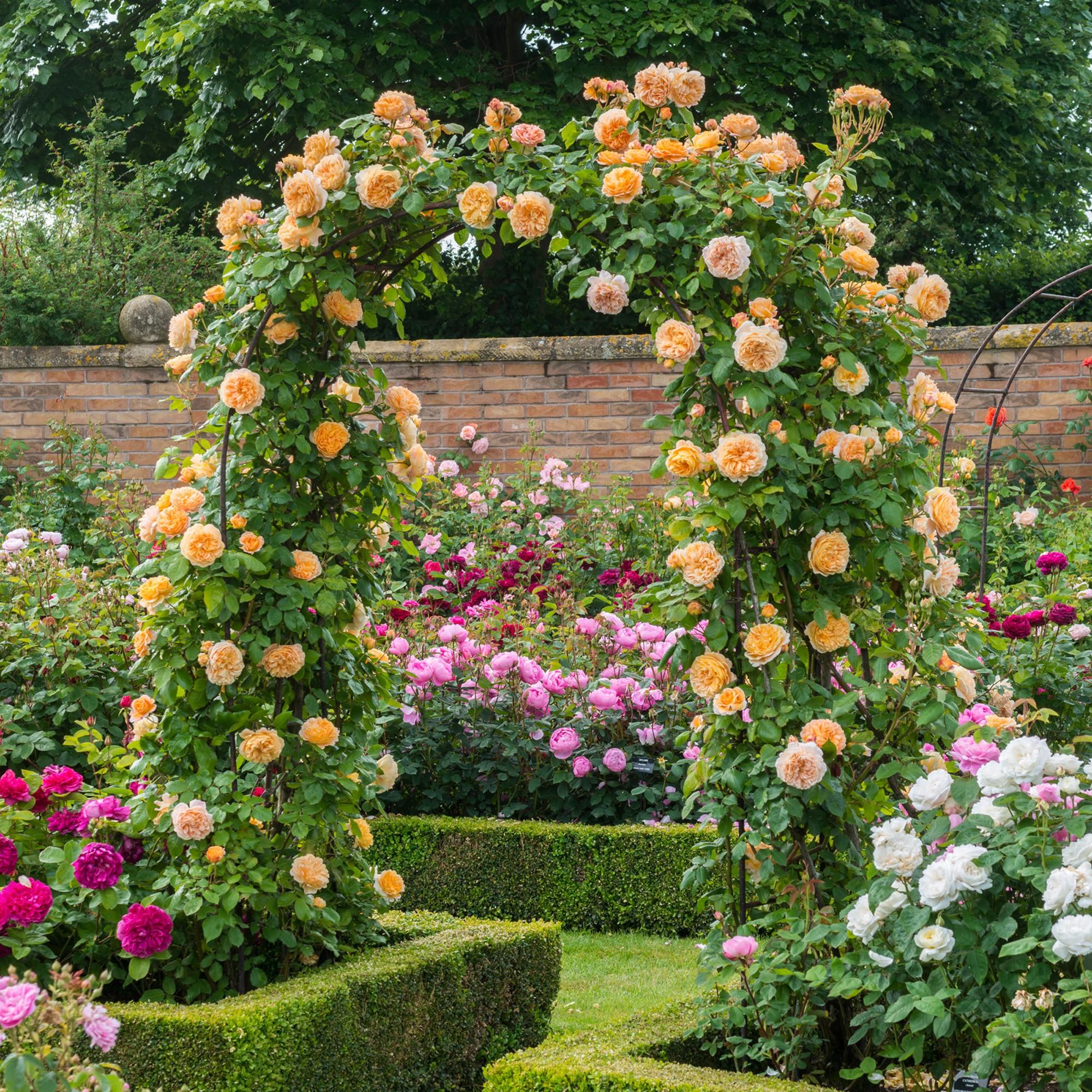 Желтая роза в ландшафтном дизайне
