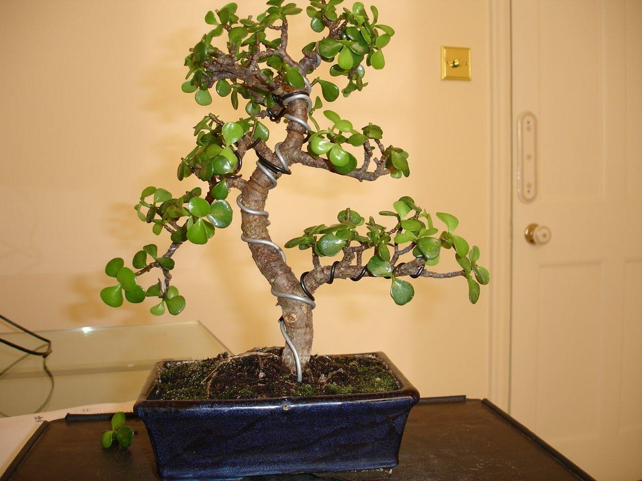 Высокое денежное дерево в горшке