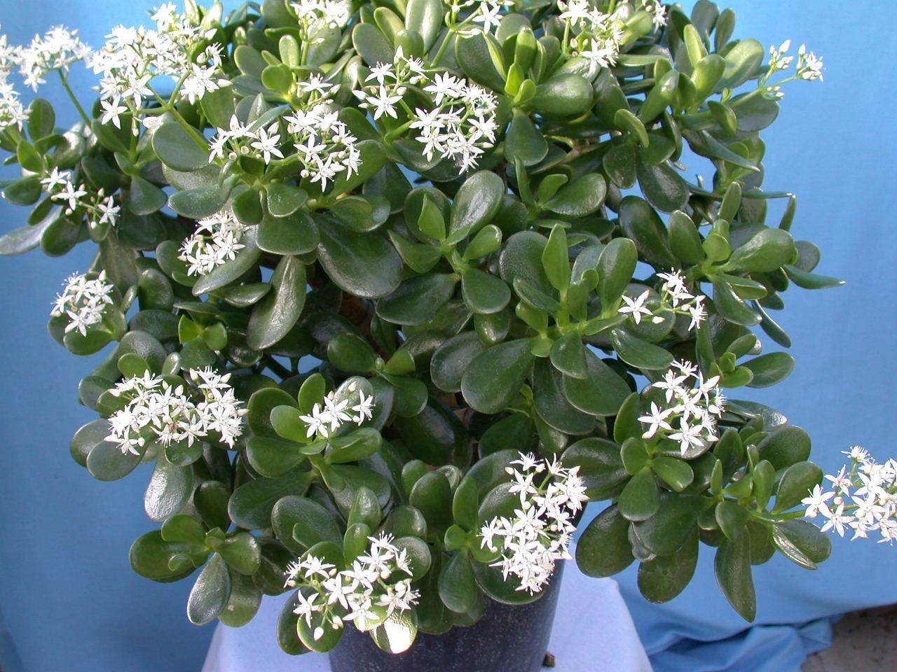 Денежное дерево во время цветения