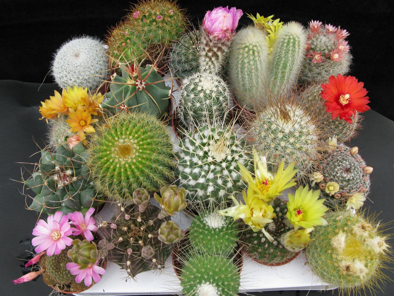 Различные виды кактусов