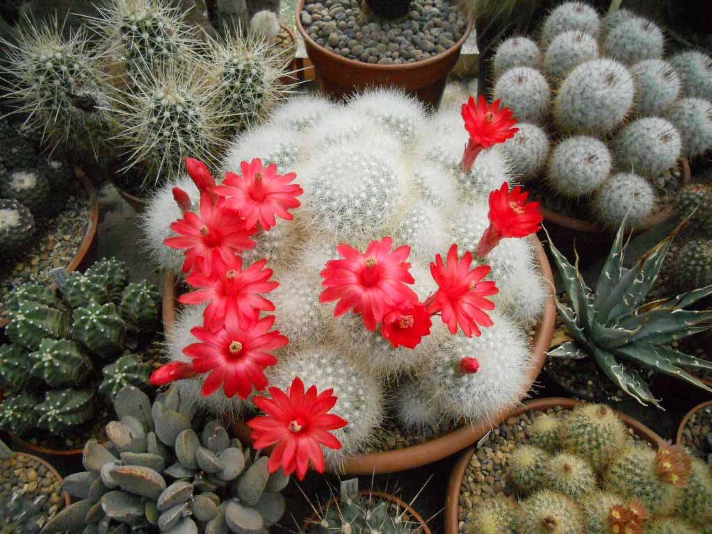 Цветение белоснежного кактуса