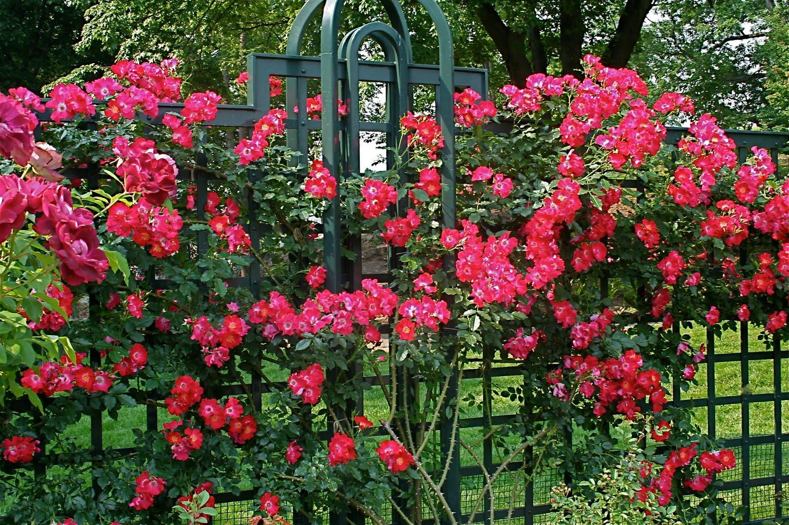 Живая изгородь из роз