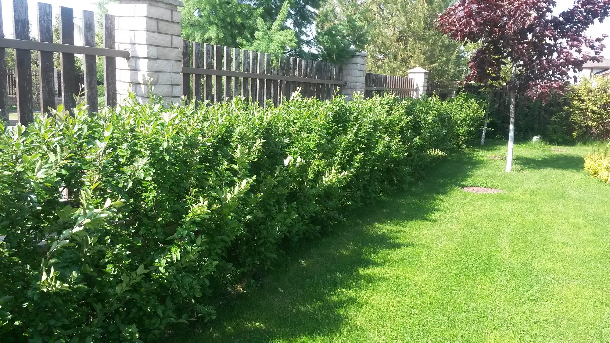 Свободно растущая изгородь у забора