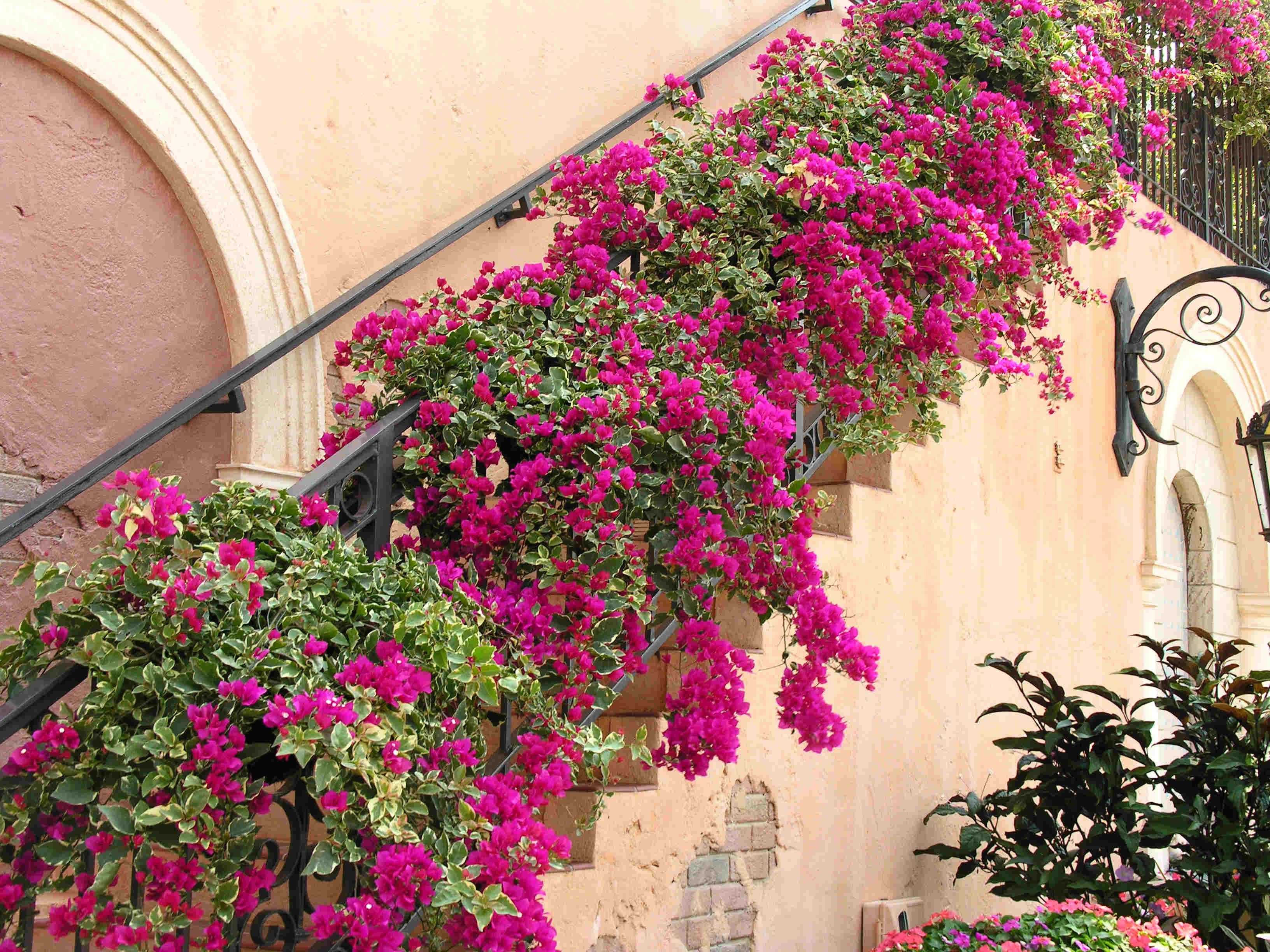 Лестница, украшенная бугенвиллией
