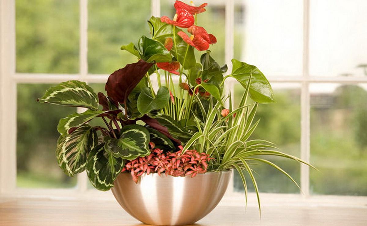 Маранта: основные разновидности и правила ухода за растением (24 фото)