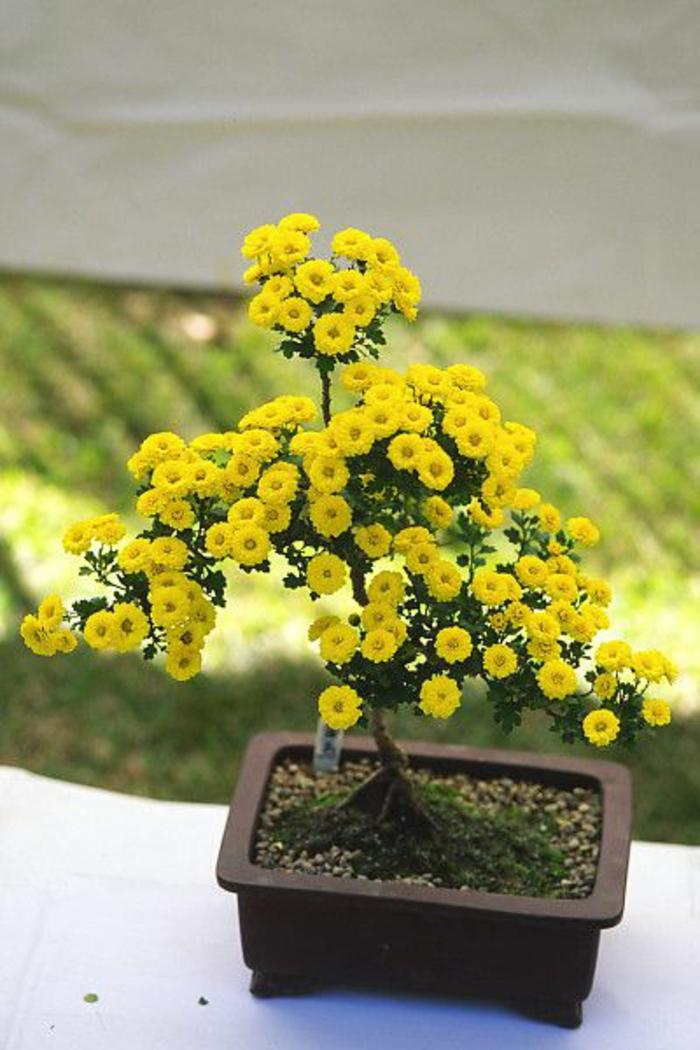Бонсай из кустовой хризантемы