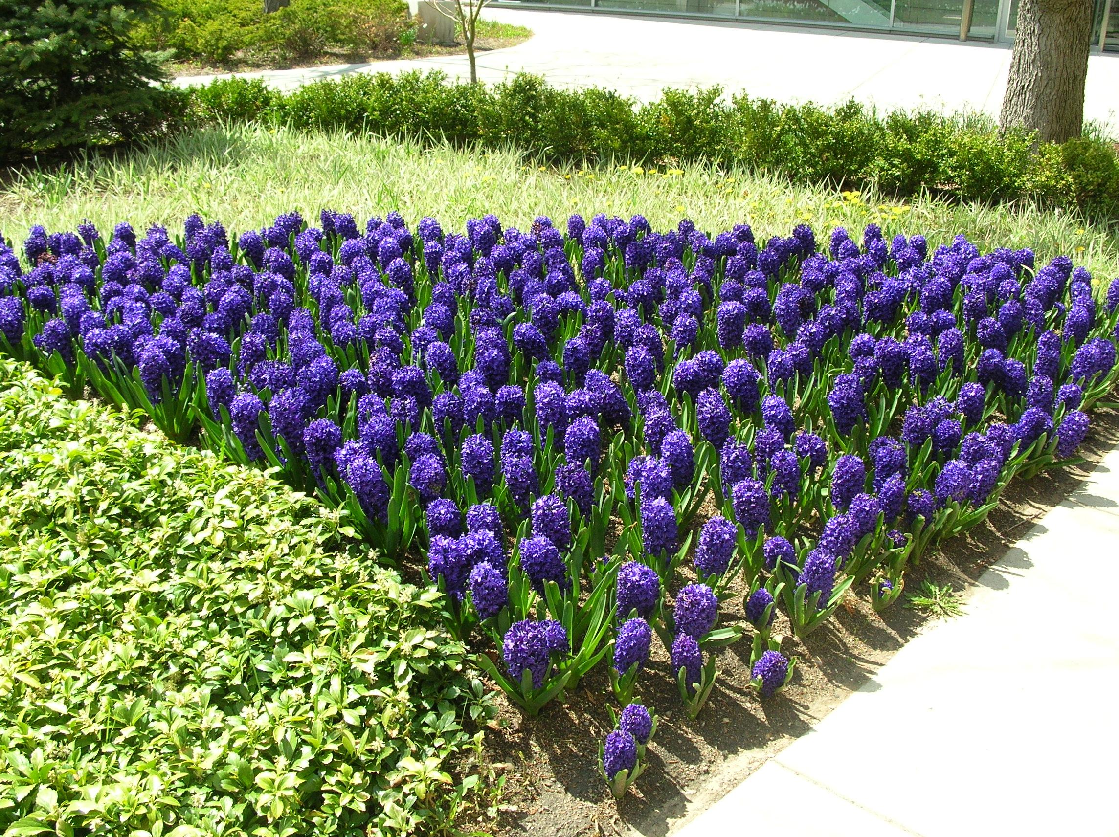 Синие гиацинты на садовой клумбе