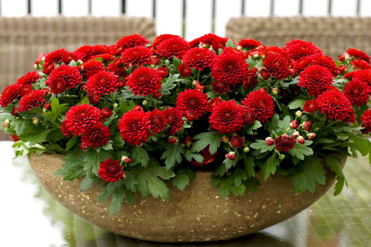 Домашняя хризантема: как легко приручить красавицу (21 фото)